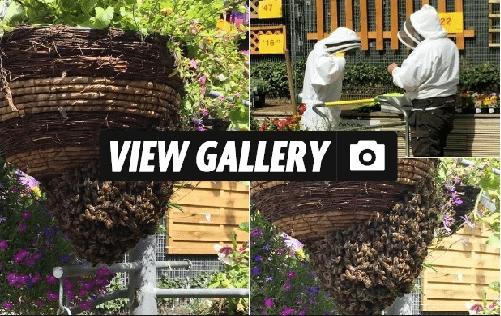 Swarm of bees at B&Q
