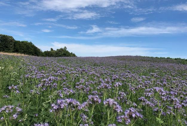 phacelia field